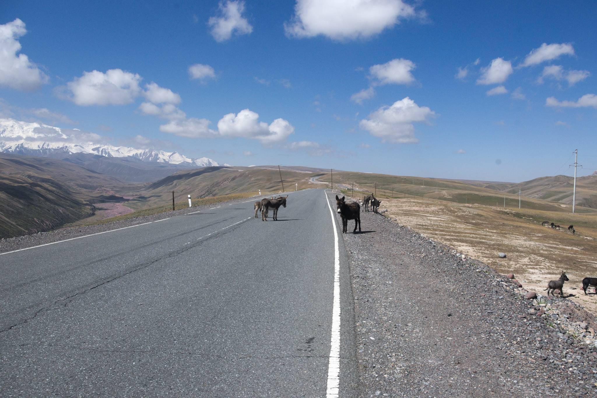 Mamy tu osły, zwierze nie spotykane w Mongolii i Chinach