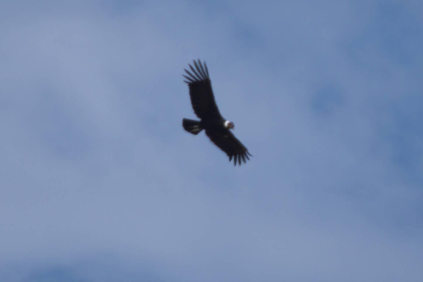 Są i kondory
