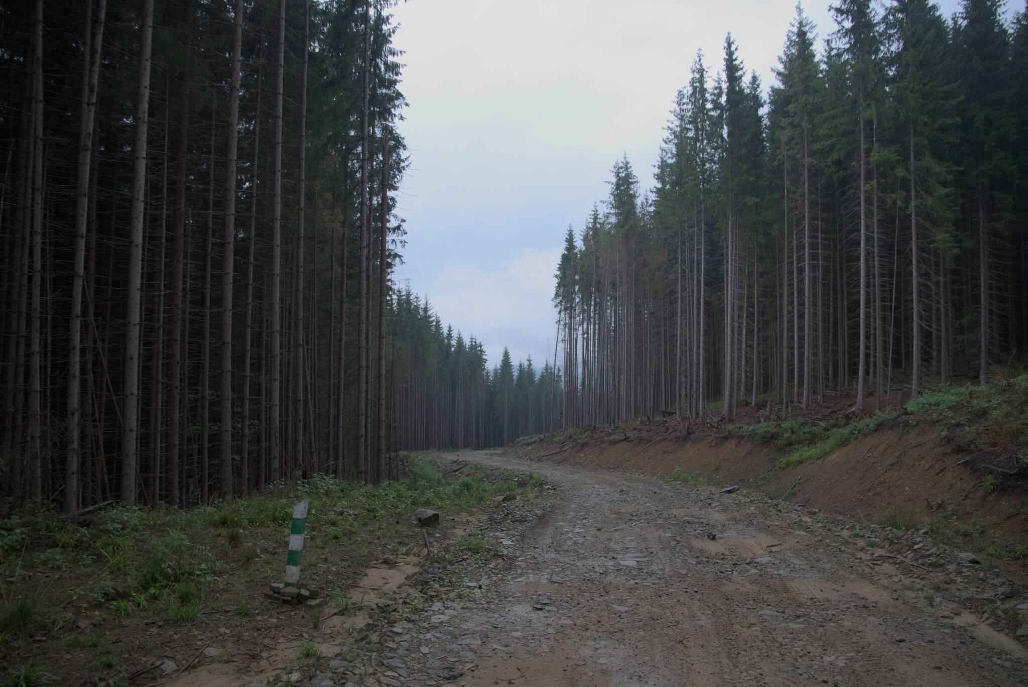 Znaleziona nowa leśna droga do Czarnej Cisy